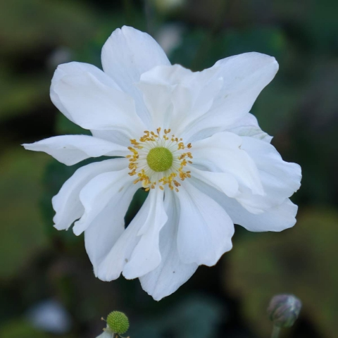 Anemone japonica Andrea Atkinson - Herbst-Anemonen