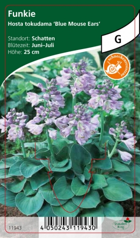 Hosta tokudama Blue Mouse Ears - Funkien