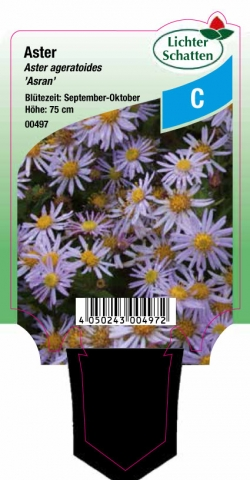 Aster ageratoides Asran - Astern
