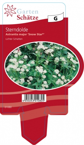 Astrantia major Snow Star - Sterndolden