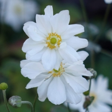 Anemone japonica Whirlwind - Herbst-Anemonen
